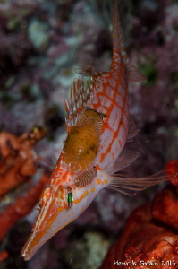Longnose Hawkfish with parasites by Henrik Gram Rasmussen 